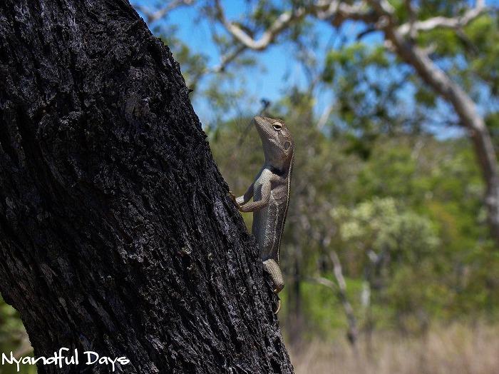 Tommy Roundhead Diporiphora australis