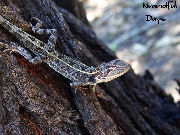 Nobbi Dragon Amphibolurus nobbi nobbi