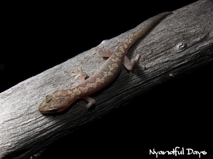 Zigzag Velvet Gecko Oedura rhombifer