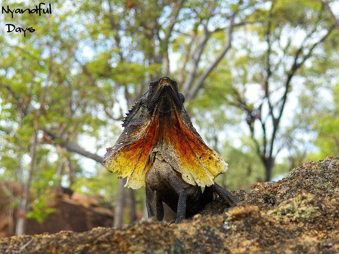 エリマキトカゲ Chlamydosaurus kingii