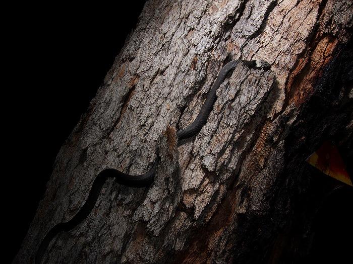 Pale-headed Snake Hoplocephalus bitorquatus