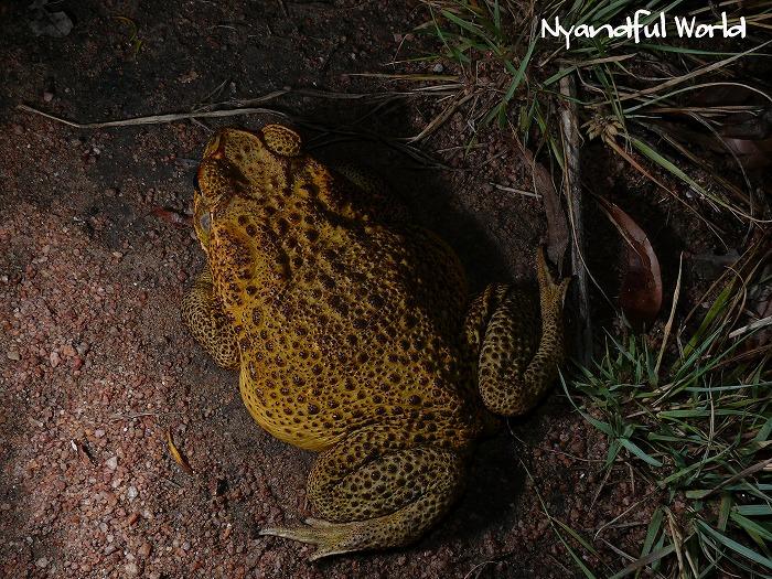 オオヒキガエル Cane Toad Bufo marinus