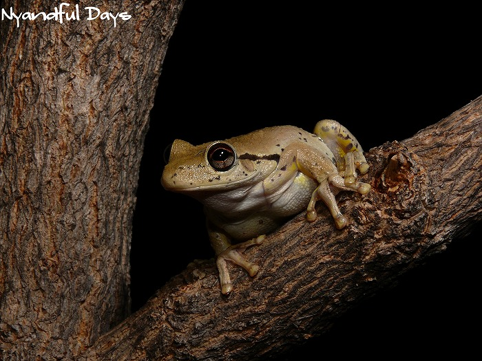 Roth's Tree Frog Northern Laughing Tree Frog Litoria rothii