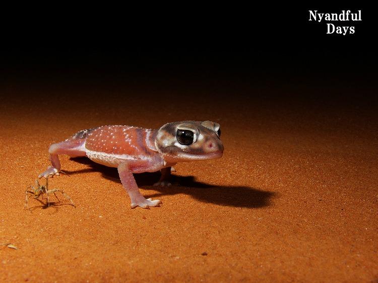 レビレビ / ナメハダタマオヤモリ Nephrurus levis levis