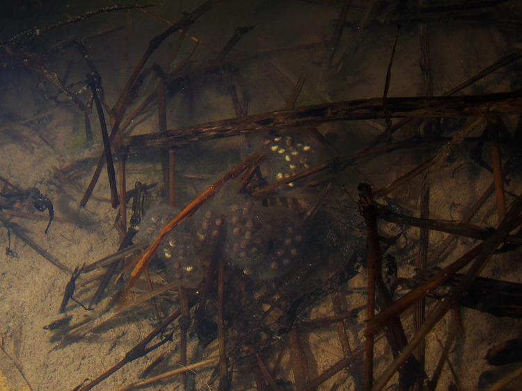 カスミサンショウウオ Hynobius nebulosus