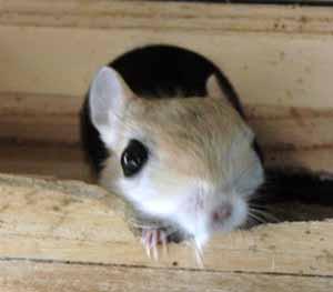 ヒメミユビトビネズミ