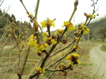 山茱萸(サンシュユ)の花