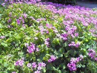 桜草の花畑