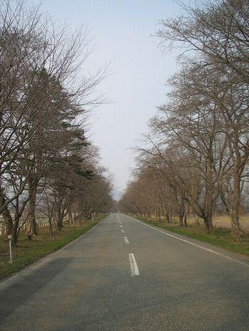 西舎 桜並木