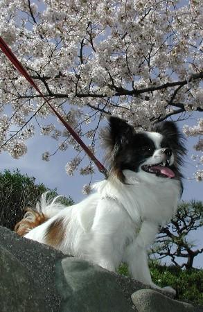 8.2才桜
