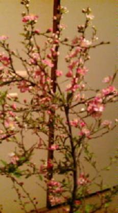おうちでお花見 桜