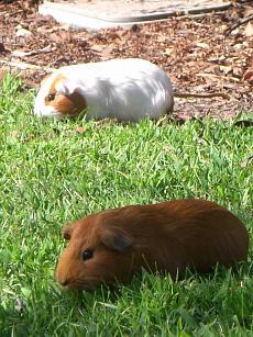 Guinea Pigs 6