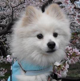 桜おすまし優