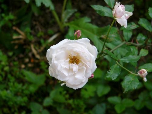 楓さんのお庭のバラ1