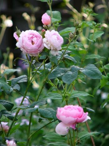 楓さんのお庭のバラ2