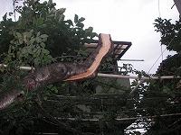 枝垂れ桃伐採