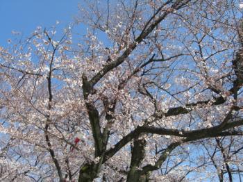咲きそろった木