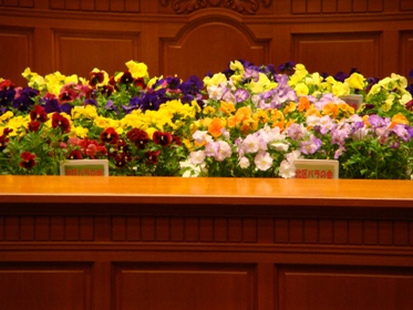 大阪の花パンジーがいっぱい