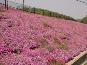 仁川の芝桜