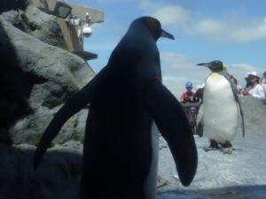 ペンギンはやっぱりかわいい♪キングペンギン。