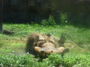 あられもない姿で昼寝中のライオンでした(笑)。