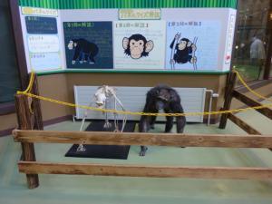 お猿さんの骨格モデルがありました!