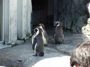フンボルトペンギン。