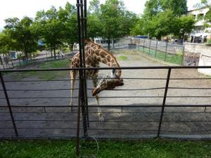 キリン。柵の外のえさを食べた後、器用に首を中に戻すところ(笑)。
