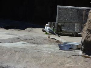 海猫。これは傷ついて保護されたもので、左の羽が短くて飛べなくなっています。ここで一緒に飼われていて、後でエサ貰ってました。ちょっと考えさせられました…。