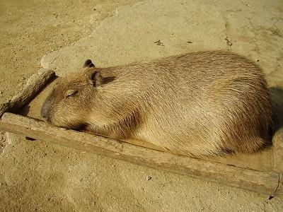 kapibara2.jpg