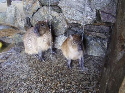 kapibara5.jpg