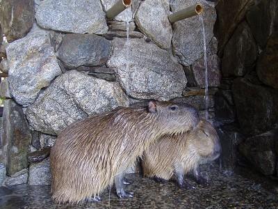 kapibara6.jpg