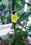 0604ゴーヤの一番花