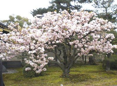 二条城の八重桜