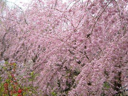 原谷園・枝垂れ桜①