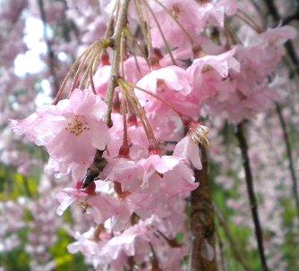 原谷園・枝垂れ桜②