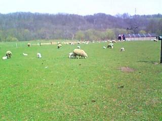 ヨークシャーファームの羊