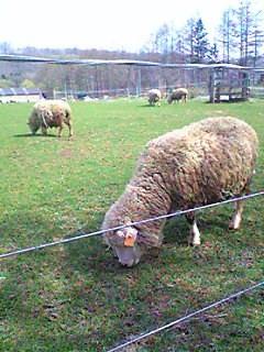 ヨークシャーファームの羊その2