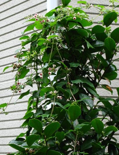 雑草の蔓と乙女椿