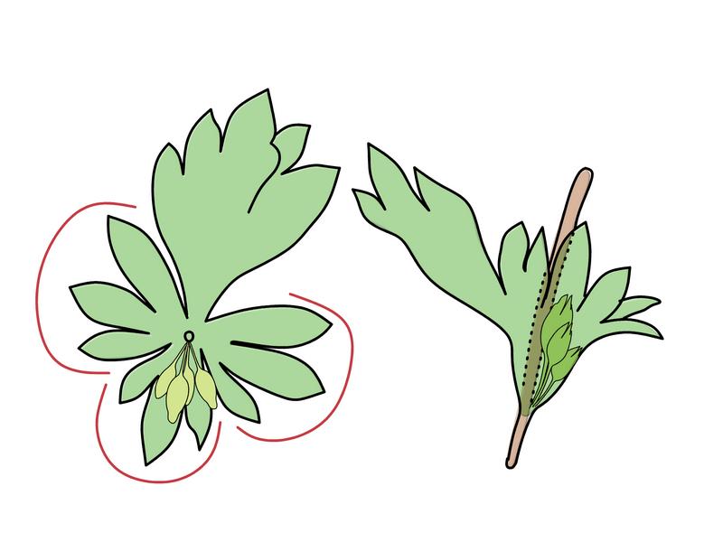 ノミノハゴロモグサ 葉