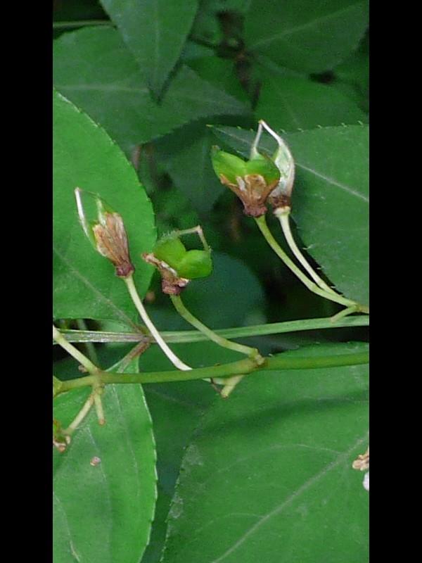 ミツバウツギ 若い果実