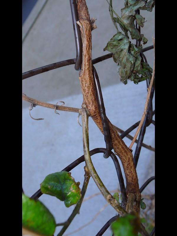 ヒヨドリジョウゴ 下部の茎