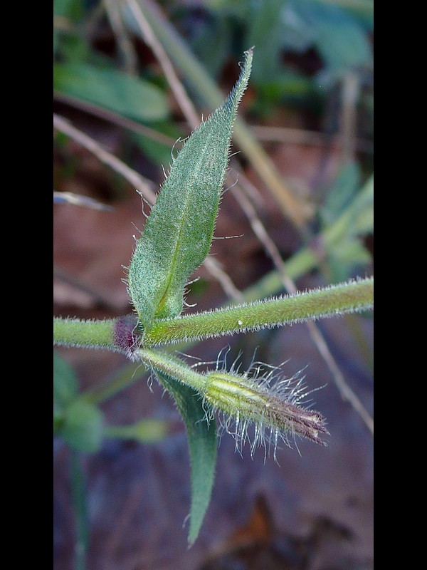 シロバナマンテマ 上部の葉