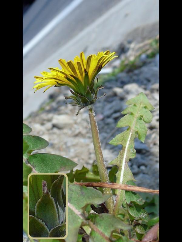 アカミタンポポ 雑種※ 花横