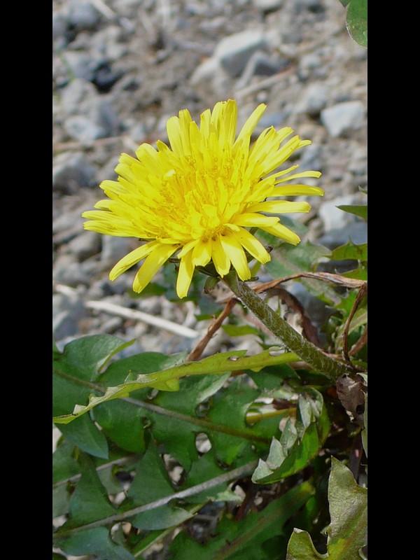 アカミタンポポ 雑種※ 頭花