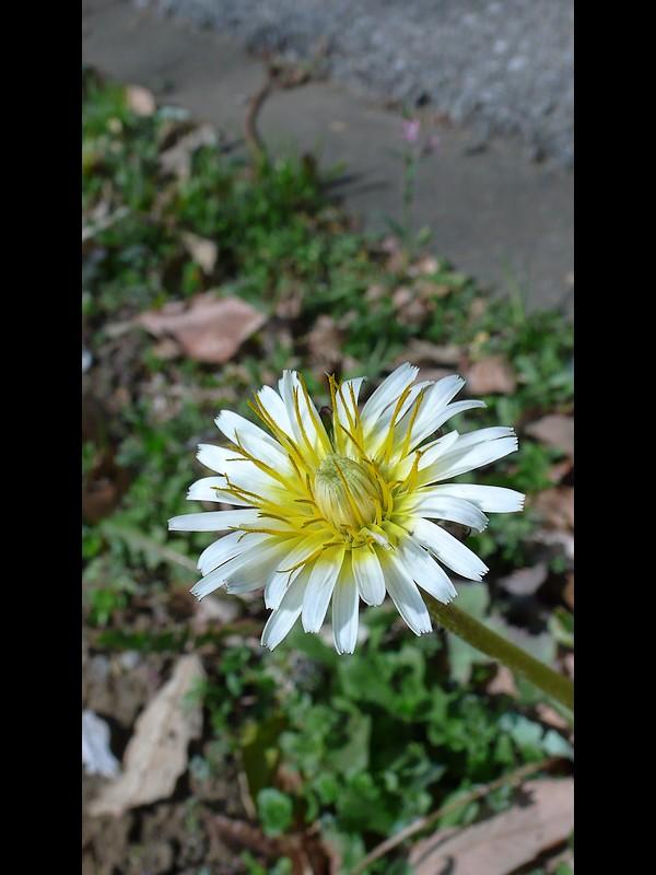 シロバナタンポポ 頭花
