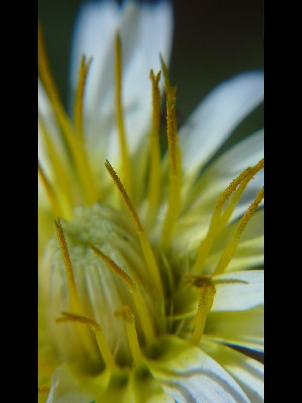 シロバナタンポポ 花の拡大(ずい柱周辺)