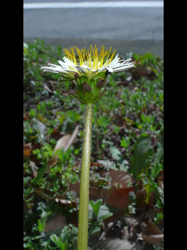 シロバナタンポポ 頭花総苞
