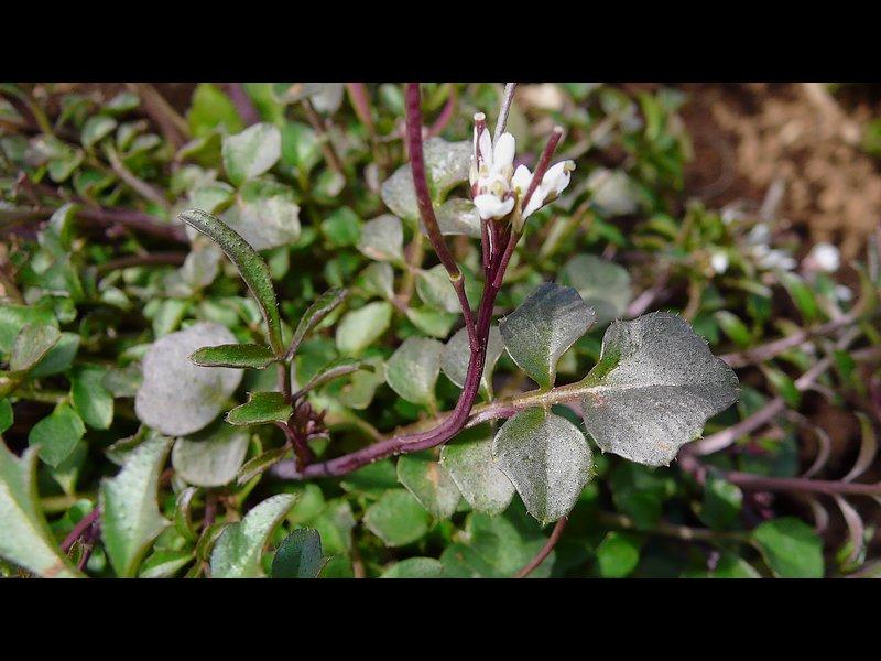ミチタネツケバナ 下部の葉