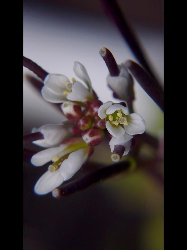 ミチタネツケバナ 花